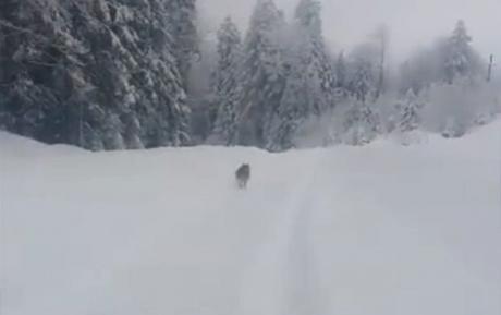 """Неверојатна глетка: волк му го """"покажувал"""" патот на автомобил (Видео)"""