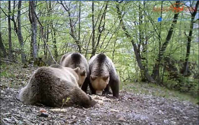 Шар Планина врие од мечиња и мечки (ВИДЕО)
