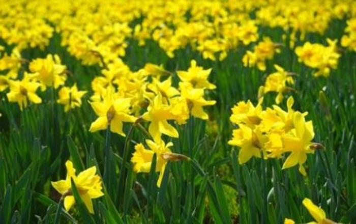 Расте во сечиј двор, а еден цвет може да помогне во борба против тешка болест