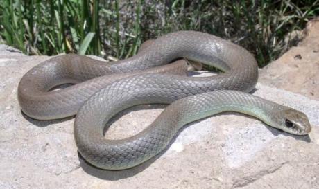 Змија касна жена во Неготино, со халуцинации итно пренесена на Инфективна во Скопје