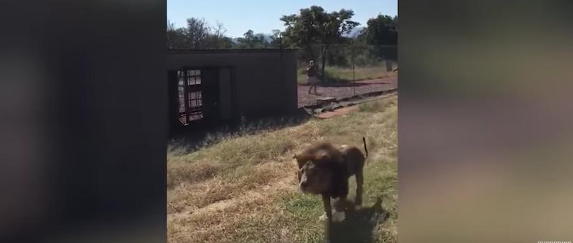 Ќе ве вознемири: Лав си го нападнал сопственикот (ВИДЕО)