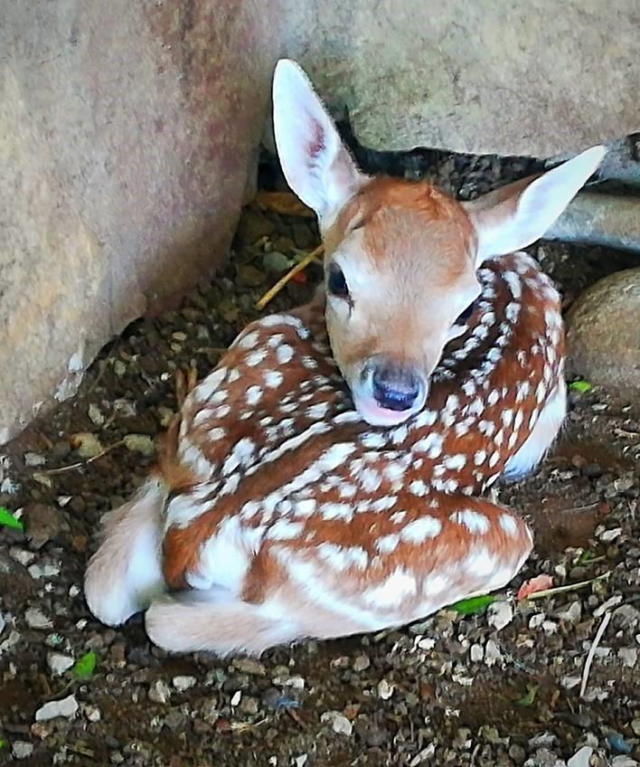 Во скопската зоолошка градина се роди Бамби
