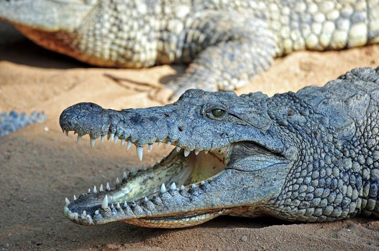 Крокодил избега од Зоолошката градина во Скопје