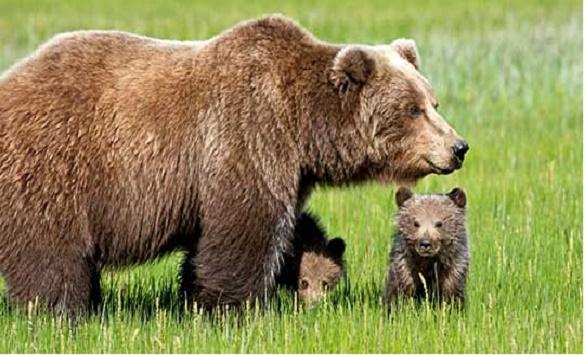 Набљудувањето мечки се попопуларно меѓу туристите во Словенија