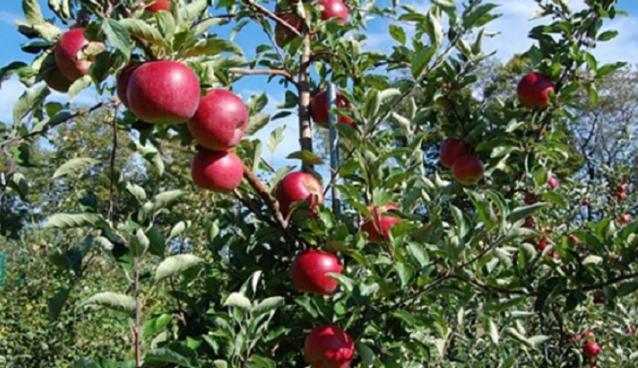 Невремето предизвика до 80 отсто штета врз јаболковите насади во преспанскиот регион