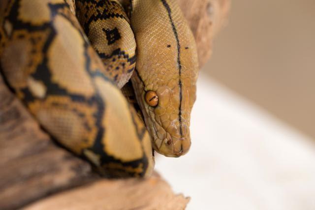 Огромна змија од која има само 12 примероци е одгледана во Виенската зоолошка (ФОТО)