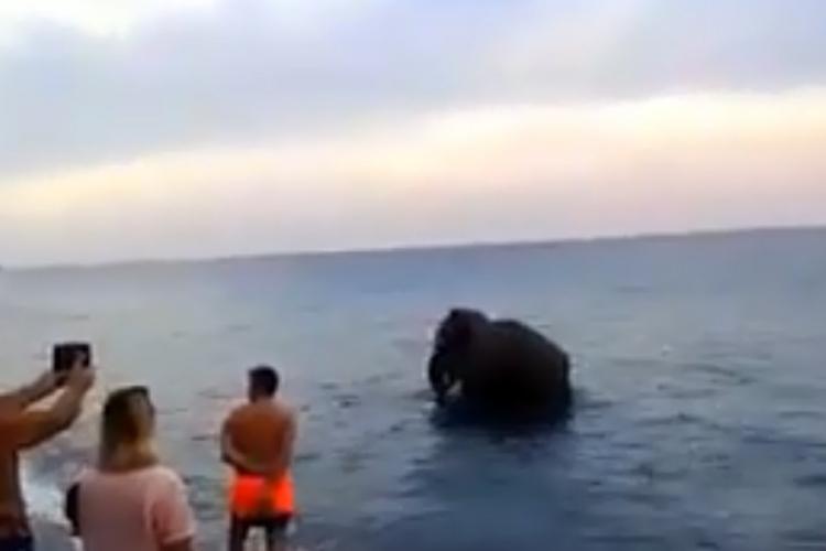 Хит на интернет: Слон од циркус избегал на плажа (ВИДЕО)