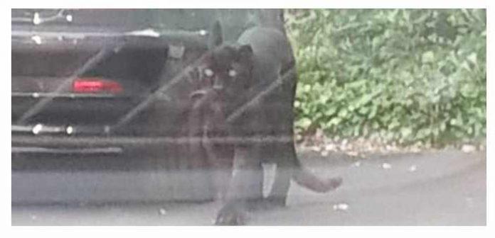 Црн пантер е пронајден на паркинг во Брисел