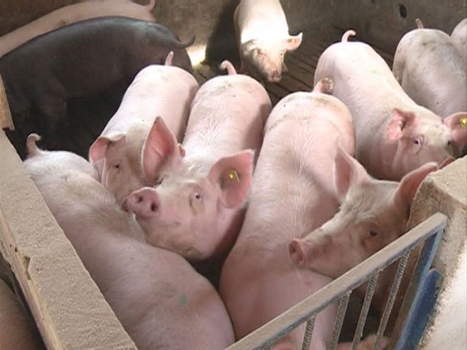 Западна Европа пред епидемија од свинска чума