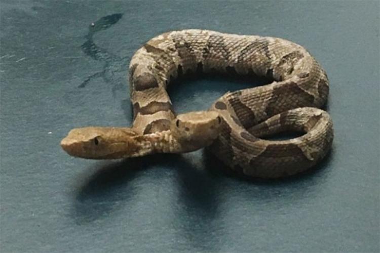 Ова ретко се гледа: Пронајдена е двоглава отровна змија (ВИДЕО)