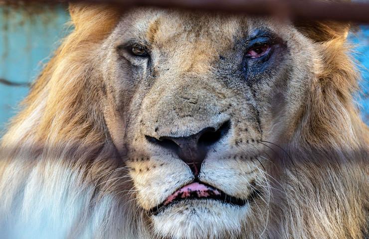 Хорор во зоолошка градина во Албанија: Сопственикот измачувал животни