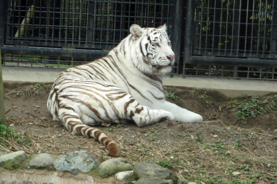 (Видео) Бел тигар уби човек во зоолошка градина во Јапонија
