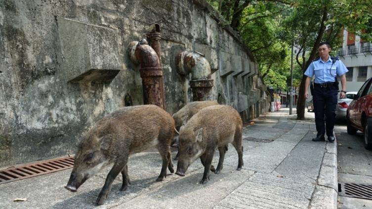 (ВИДЕО) Диви свињи слободно се шетаат по улиците на Хонг Конг
