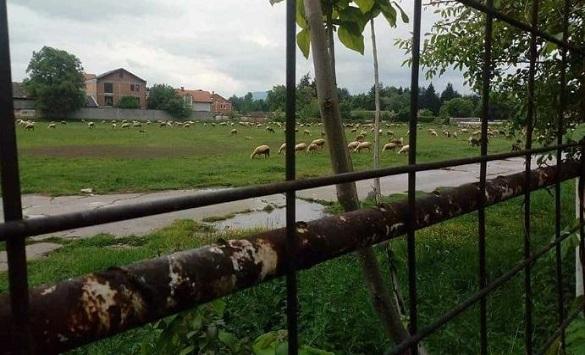 (ФОТО) Овци ја пасат тревата на тетовскиот стадион