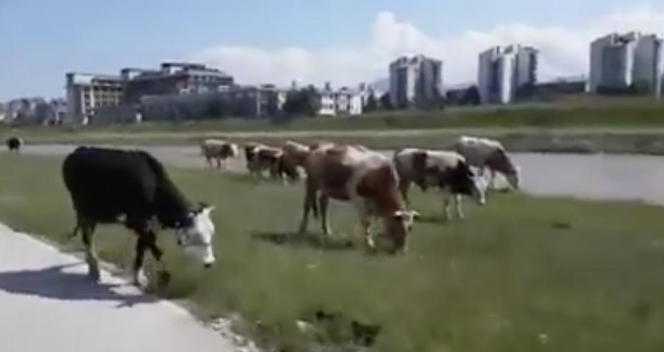 (ВИДЕО) Крави пасат среде Скопје: Кејот на Вардар претворен во пасиште
