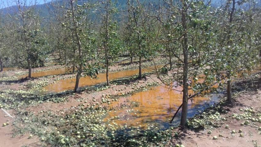 Поради невремето во Преспа последици врз јаболката ќе има во наредните две години