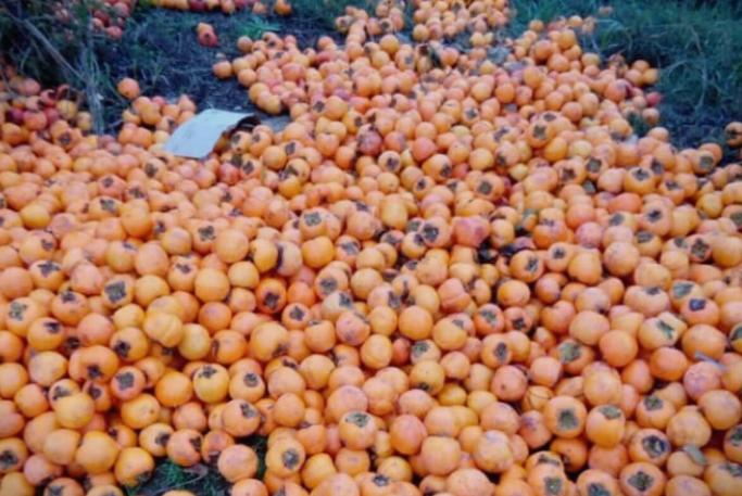 Трипуновски: Вака ли блескаме со цела реколта јапонски јаболка истурени по нивите?
