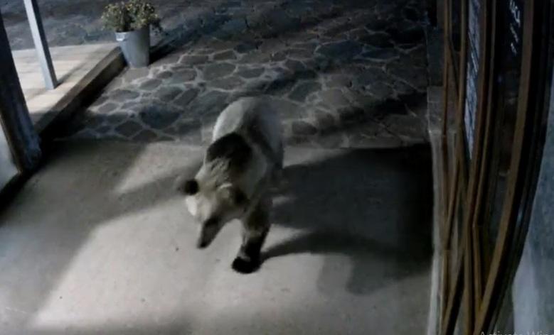(ВИДЕО) Мечка влезе во базен во хотел во Бугарија