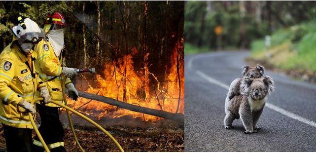 Во големите шумски пожари во Австралија настрадале 350 коали