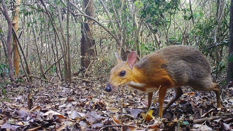 Пронајдено животно, за кое се мислело дека е изумрено пред 30 години (ВИДЕО)