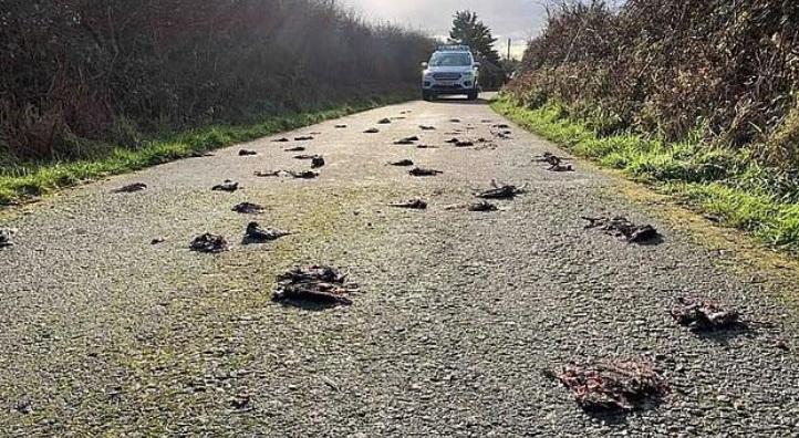 (ВИДЕО) Во Велика Британија стотици птици паднале мртви на улица