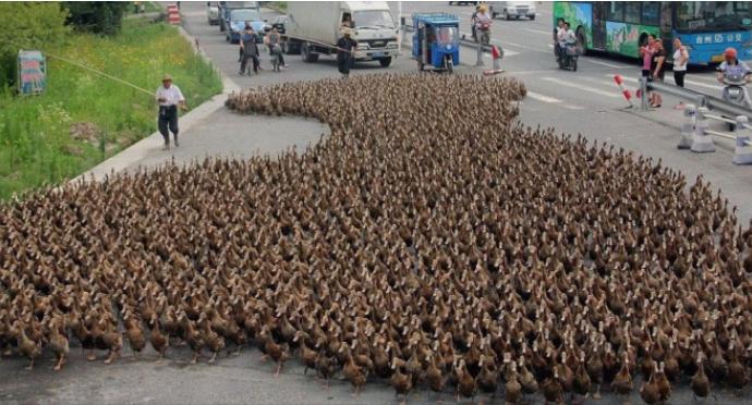 Кина во Пакистан испраќа 100.000 патки за борба против скакулците