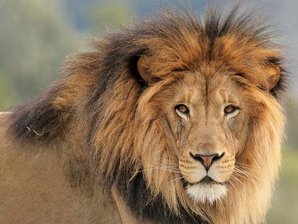 Косовец се обидел да прошверцува лав