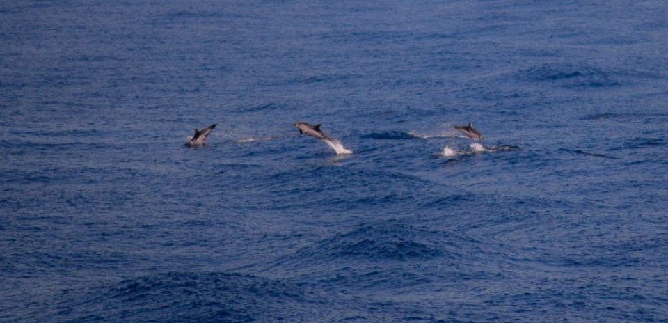 (ВИДЕО) Делфини се појавија близу шеталиштето во Солун