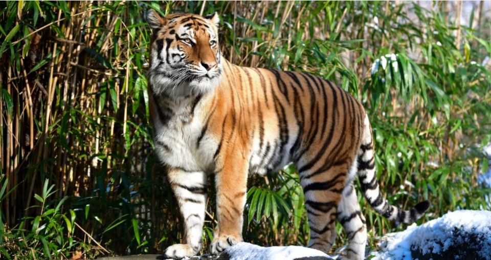 Тигар во зоолошката во Њујорк позитивен на корона вирусот