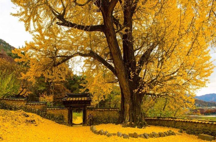 """Гинко """"гласникот на надежта"""": Чудесните јапонски дрвја што ја преживеаа атомската бомба"""