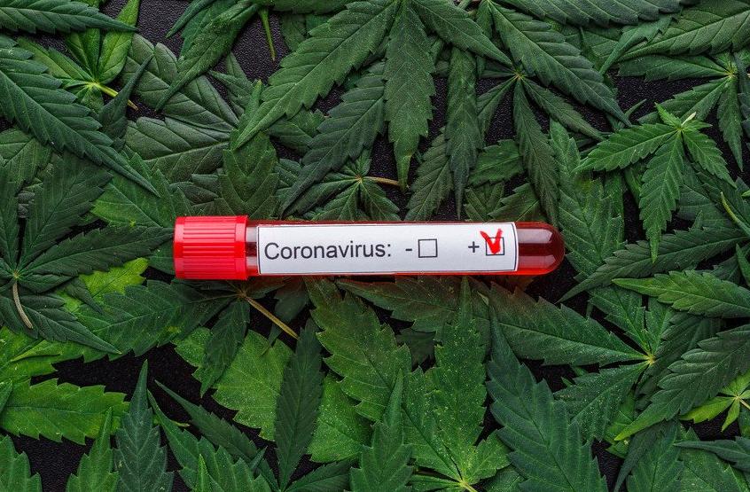 Канабисот може да помогне во спречување и во лекување на Ковид-19, тврдат Канадски научници