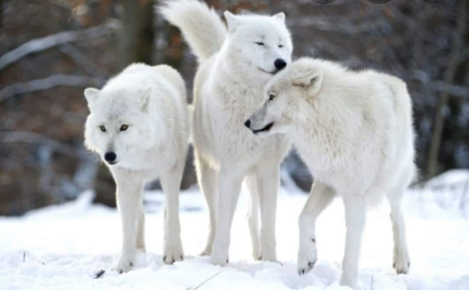 Арктички волци од следниот месец во Зоолошката градина во Скопје