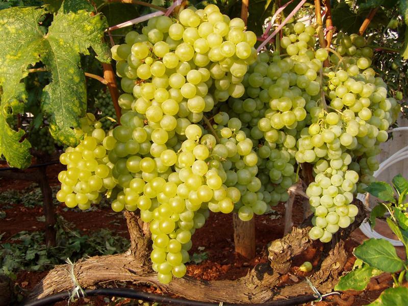 ВМРО-ДПМНЕ: Заев пак ги излажа лозарите, грозјето се откупува по мизерни цени или завршува на буниште