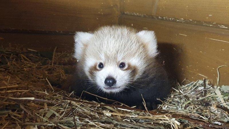 Во зоолошка градина во Берлин се роди црвена панда