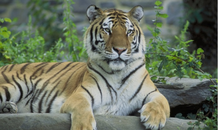 Тигар уби жена во зоолошка градина во Швајцарија