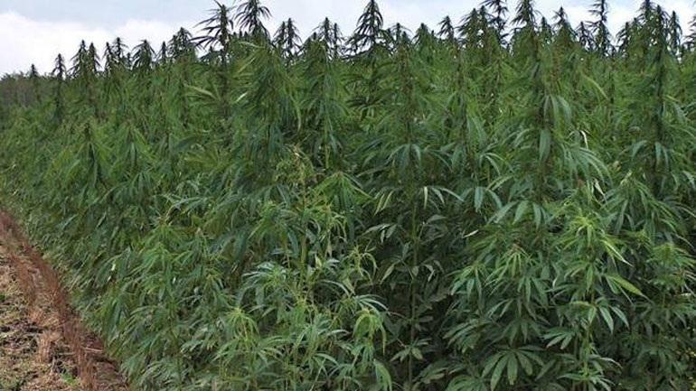Кривична пријава за жител на Миравци кој одгледувал марихуана