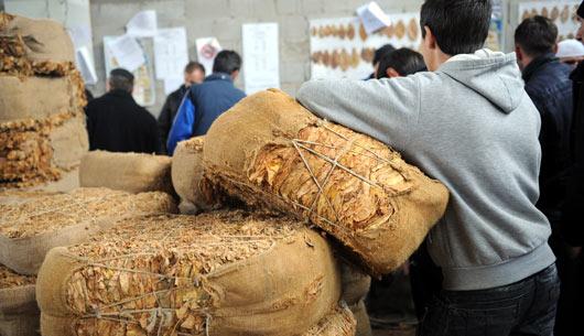 Откупувачите подготвени да го преземат вишокот тутун