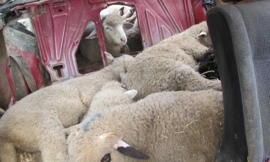 Спречен обид за криумчарење на ситен добиток од Македонија во Албанија