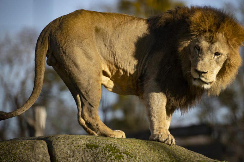 Лав нападна вработена во зоолошка градина во Германија