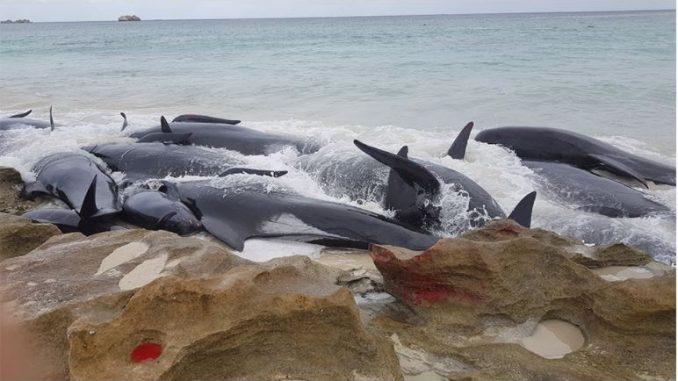 Во Индонезија насукани 45 китови, три преживеале