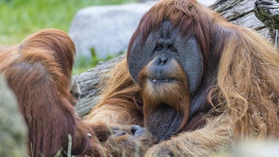 (ВИДЕО) Девет мајмуни примија вакцина против ковид-19 во Сан Диего
